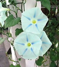 BLUE STAR MORNING GLORY VINE 20 SEEDS -  LOADS OF BLOOMS! - COMB.S/H!