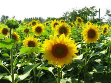 SUNFLOWER 50+ seeds flower garden BOONDIE SEEDS easy to grow flower or sprouts