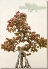 Trident Maple Bonsai Árbol Semillas * Acer Buergerianum * las semillas frescas *