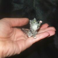 CAT Dollhouse realistic Tabby OOAK miniature 1:12 handsculpted handmade IGMA