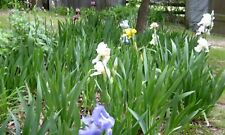 Lot 5  Bearded Iris Rhizomes Bulbs Plants   Assorted Colors free shipping
