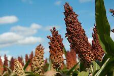 Grain Sorghum, Milo, Bird Seed, By: Thunder Acres