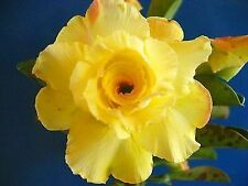 "Adenium Grafted plant 5.5"" - Golden Rose, Actual color"