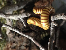 3 Golden Millipede *Get BIG* Live Insect Classroom Science Project Easy Care