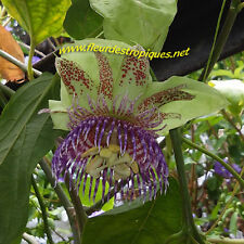 Passiflora maliformis / Passiflore - lot de 20 graines