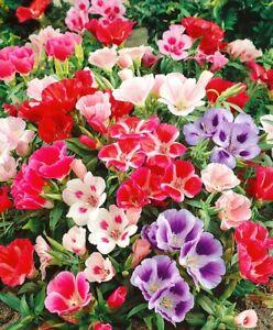 Seeds Satin Flower Godetia Clarkia Mix Plant Annual Garden Organic Cut Ukraine