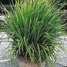 Ornamental Grass Seed - Cymbopogon Citratus Seeds