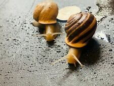 (2) Live Land Milk Snail Otala Lactea PAIR XL QuarterSize,Breeder,Pet,Fun, Edu