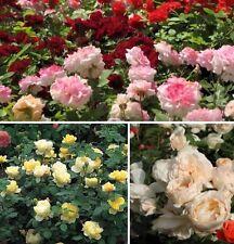 gelb rosa blühende Rosenhecken / schnellwüchsige Blumenhecken Rosenhecke Hecke