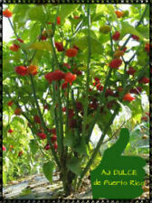 Sweet Pepper Seeds Aji Dulce Seeds 100+ Free Shipping
