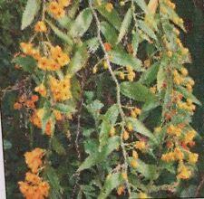 Dendrobium CHRYSANTHUM VAR GIGANTEA seedling orchid plant in 80mm pot
