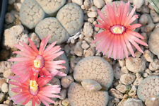 Lithops verruculosa 'Rose of Texas'  20 seeds