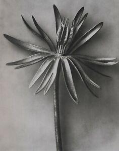 1942 ORIGINAL PRINT PHOTO GRAVURE plate 92 KARL BLOSSFELDT ABSTRACT BOTANICAL