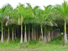 Roystonea regia Florida Royal Palm 10 seeds