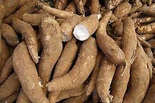 Cassava seeds, Manihot esculenta tree 50 Seeds