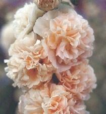 Alcea rosea Chamois 10 seeds