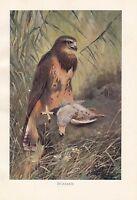 C1914 Naturale Storia Stampa ~ Buzzard Uccello Di Prey ~ Lydekker