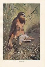 c1914 NATURAL HISTORY PRINT ~ BUZZARD BIRD OF PREY ~ LYDEKKER