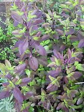2,100 Seeds Thai holy basil,Red leaf,Thai herbs Free shipping....