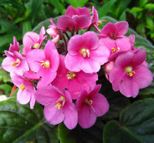 PINK AFRICAN VIOLET beautiful flowering indoor plant in 110mm pot