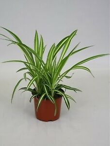 Spider plant house plant  Chlorophytum Air cleaning collection Only Dorset
