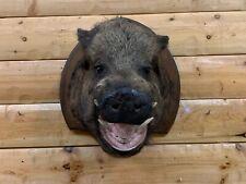 Shoulder Mount Real Russian Wild Boar Pig Hog Warthog Razorback Taxidermy Wb2