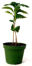"""Arabica Coffee Plant - 4"""" Pot Grow Your Own Coffee GIFT Easy Mature Holiday"""