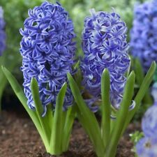 10 Hyacinth Bulbs - Blue Jacket - size 14-16+ cm - Fall Planting Spring Blooms