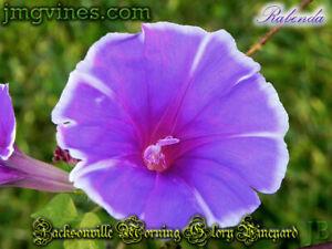 Rabenda Japanese Morning Glory 6 Seeds
