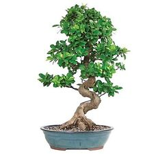 Bonsai Grafted Ficus Tree Hooseplan or Garden Rich Green 14 Years Best Gift New