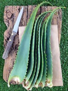 Foglie Fresche Aloe Arborescens 1Kg