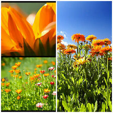 ORANGE SALAD Calendula edible flowering plant in 100mm pot