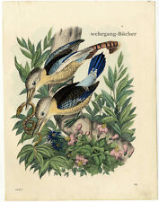Blue-winged kookaburra, Original antique hand colored engraving, from 1863