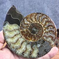 Pro Natürliche Ammonit F0ssile Muschel Kristall Probe Heilung Hause Dekor  Neu
