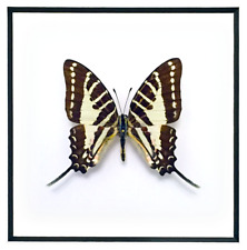 """REAL FRAMED SWALLOWTAIL BUTTERFLY - Graphium Aristeus - ART OF INSECTS 11"""" x 14"""""""