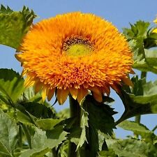 TALL ORANGE SUN (TEDDY BEAR) SUNFLOWER - 15 SEEDS  Comb.S/H  SEE OUR STORE!