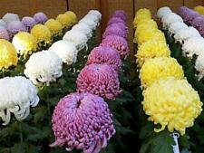 100 Seeds Chrysanthemum Mums Flowers Chrysanths Beautiful Plants in Garden Home