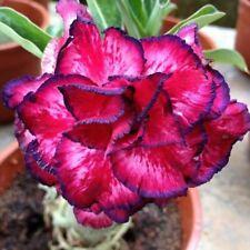 4 Fushia Purple Desert Rose Seeds Adenium Obesum Flower Exotic Garden Seed 899