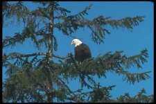 135063 Bald Eagle Sitting In Tree A4 Photo Print