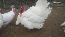 6 Rare Midget White Turkey Hatching Eggs