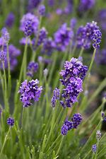 200 Graines non traitées LAVANDE VRAIE /OFFICINALE Lavandula angustifolia /vera