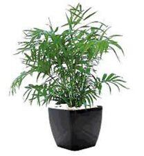 8 x PARLOUR PALM Chamaedorea elegans soft indoor house plants in 60mm pots