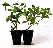 White Gardenia - 2 Set White Fragrant Flowers Easy to Care GIFT Mature