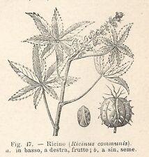 B2267 Ricinus communis - Incisione antica del 1930 - Engraving