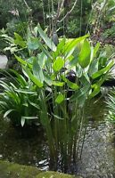 Thalia dealbetta, tropical pond plant! Hardy! seeds RARE IN UK, FAST growing!