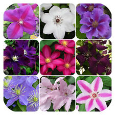 Clematis Bare Root Mixed Plants x 5 Large Flowering Climbing Shrub