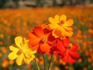 """Cosmos Seeds """"Bright Lights"""" (Approx 50 Seeds ) Beautiful Adition To Any Garden"""