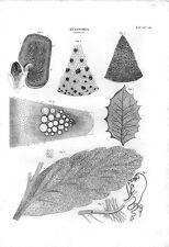 Stampa antica BOTANICA dettagli di anatomia di diverse foglie 1848 Old print