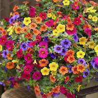 200 Pcs Seeds Hanging Petunia Mixed Bonsai Color Flowers Garden Plants NEW 2018