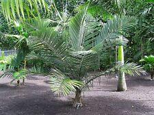 *5 Rare Palm* Seeds*Allagoptera Caudescens (Poyandrococos)*Bahia*Bur i Palm*